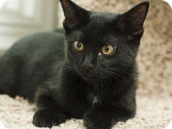 Domestic Shorthair Kitten for adoption in Great Falls, Montana - Parker