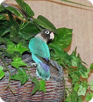 Lovebird for adoption in Muldrow, Oklahoma - Petie
