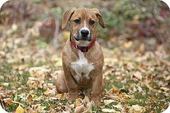 Basset Hound/Boxer Mix Puppy for adoption in Jackson, Idaho - Daisy