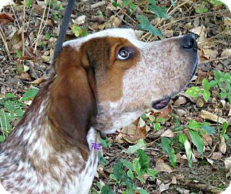 English (Redtick) Coonhound/Hound (Unknown Type) Mix Dog for adoption in Lexington, Massachusetts - VanDyke