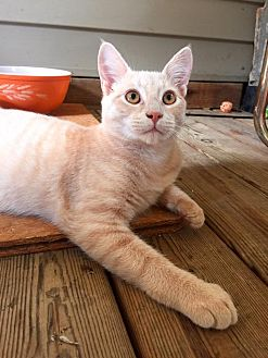 Domestic Shorthair Cat for adoption in Burlington, North Carolina - ATLAS
