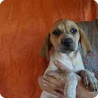 Adopt A Pet :: Autumn - Oviedo, FL