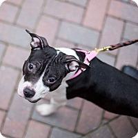 Adopt A Pet :: Silvia - Reisterstown, MD