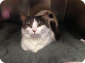 Domestic Longhair Cat for adoption in Alpharetta, Georgia - Catalina