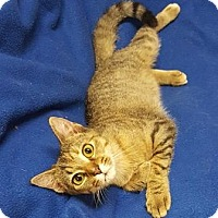 Domestic Shorthair Cat for adoption in Americus, Georgia - French Fry