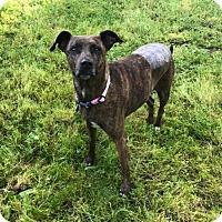 Adopt A Pet :: Sheba - Sacramento, CA
