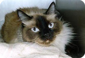 Siamese Cat for adoption in Cheyenne, Wyoming - Winston