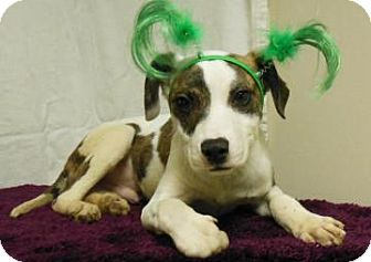 Pit Bull Terrier Mix Puppy for adoption in Gary, Indiana - Charlie