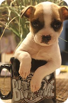 Boston Terrier/Terrier (Unknown Type, Medium) Mix Puppy for adoption in Hamburg, Pennsylvania - Beans