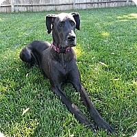 Adopt A Pet :: Dharma - Broomfield, CO