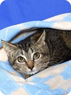 Domestic Shorthair Kitten for adoption in Gloucester, Virginia - LUCINDA