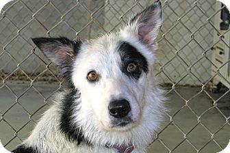 Border Collie Dog for adoption in Ruidoso, New Mexico - Bessie