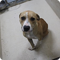 Pit Bull Terrier Mix Dog for adoption in Odessa, Texas - A08 Bunny