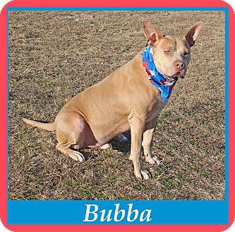 German Shepherd Dog/Staffordshire Bull Terrier Mix Dog for adoption in Hillsboro, Texas - Bubba