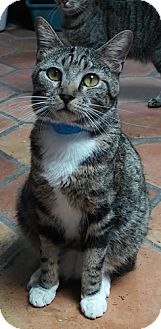 Domestic Shorthair Cat for adoption in Dallas, Texas - GEMINI