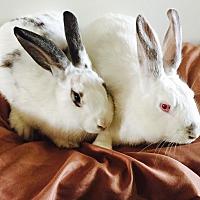 Adopt A Pet :: Holly & ivy - Bonita, CA