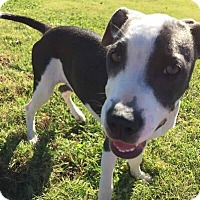 Adopt A Pet :: Quinn - Broken Arrow, OK
