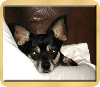 Chihuahua Mix Dog for adoption in Scottsdale, Arizona - Sissy