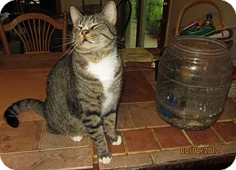 Domestic Shorthair Cat for adoption in Lincolnton, North Carolina - Buster