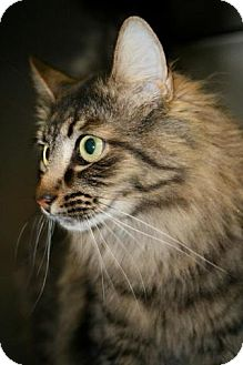 Maine Coon Cat for adoption in Howell, New Jersey - Calvin