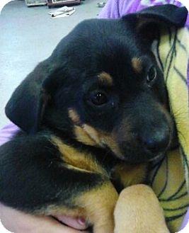 German Shepherd Dog/Hound (Unknown Type) Mix Puppy for adoption in River Falls, Wisconsin - Buzzie