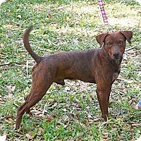 Adopt A Pet :: Red - Ormond Beach, FL