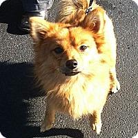 Adopt A Pet :: Amos - Plainfield, CT