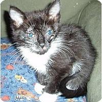 Adopt A Pet :: Smokey's #2 Kitten - Westfield, MA