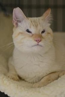 Siamese Cat for adoption in New Orleans, Louisiana - Chester