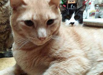 Domestic Shorthair Cat for adoption in Sacramento, California - Tyler