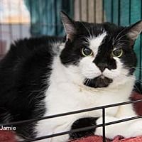 Domestic Shorthair Cat for adoption in Merrifield, Virginia - Jamie