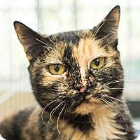 Domestic Shorthair Cat for adoption in Los Angeles, California - Roxy