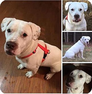 American Bulldog Mix Dog for adoption in Jefferson, Georgia - Rex