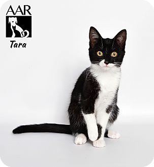 Domestic Shorthair Cat for adoption in Tomball, Texas - Tara
