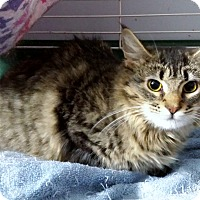 Adopt A Pet :: Lynx - Chelsea - Kalamazoo, MI