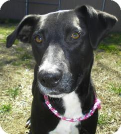 Pointer/Labrador Retriever Mix Dog for adoption in Lincolnton, North Carolina - Sophia