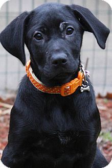 Labrador Retriever/Hound (Unknown Type) Mix Puppy for adoption in Kalamazoo, Michigan - Opal
