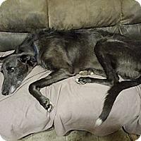 Adopt A Pet :: Beastie Boy - Windsor Heights, WV
