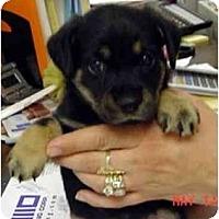 Adopt A Pet :: Boo-Boo - dewey, AZ