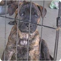 Adopt A Pet :: Mr Blonde - resevoir dog pup - Phoenix, AZ