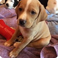 Adopt A Pet :: Curious George - Marlton, NJ