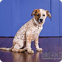 Adopt A Pet :: Shanti - Owensboro, KY