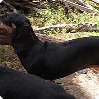 Adopt A Pet :: Flurry - Jacksonville, FL