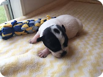 Labrador Retriever/Beagle Mix Puppy for adoption in Gallatin, Tennessee - Blueberry