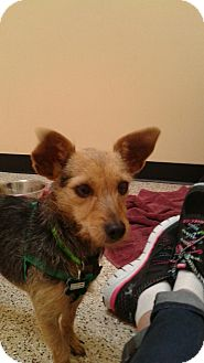 Terrier (Unknown Type, Small)/Dachshund Mix Dog for adoption in Thousand Oaks, California - Izzie