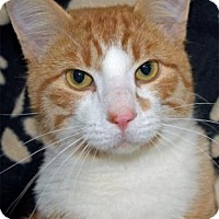 Domestic Shorthair Cat for adoption in Waupaca, Wisconsin - Oliver