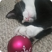 Domestic Mediumhair Cat for adoption in wyoming valley, Pennsylvania - Newman