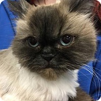 Adopt A Pet :: Niko - Chicago Heights, IL