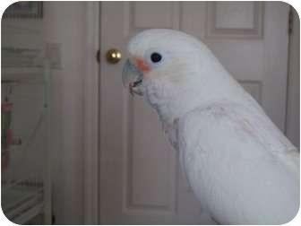Cockatoo for adoption in Punta Gorda, Florida - Nugget