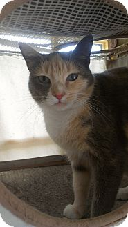 Domestic Shorthair Cat for adoption in Richboro, Pennsylvania - Reese Witherspoon